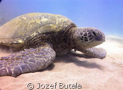 resting turtle by Jozef Butala