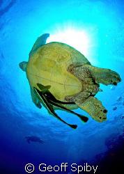 turtle and suckerfish by Geoff Spiby