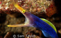 Blue Ribbon Eel. 60mm lens by Sam Taylor
