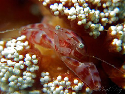 Soft Coral Crab. Taken with Canon G9 and Inon strobe with... by Paul Ng