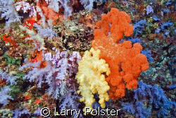 Soft Coral capitol of the World by Larry Polster