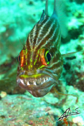Squirrel fish with eggs in mouth! I noticed it as it was ... by Adriano Trapani
