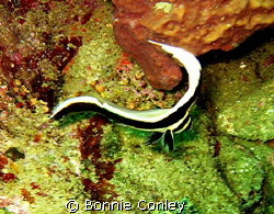 Juvenile spotted drum seen at Tobago June 2007.  Photo ta... by Bonnie Conley