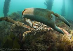 Spiny spider crab. Not very happy! Trefor pier. D200, 10.... by Derek Haslam
