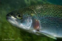 Trout, Capernwray, Nikon D80, 60mm, Ikelite DS125 Strobe by Alan Fryer