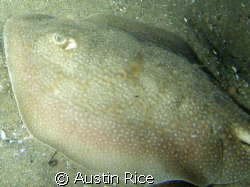 Stingray. Night Dive at Shaw's Cove. by Austin Rice