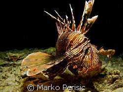 Often attracted by divers lights this Common Lionfish (pt... by Marko Perisic