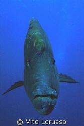 Fishs - Cheilinus undulatus by Vito Lorusso