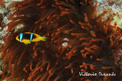 A clown fish protects himself in a red anemone. Sorry for... by Vittorio Durante