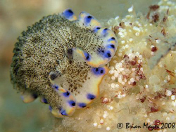 Nudibranch (Armina Sp. 7) feeding on soft coral (Dendrone... by Brian Mayes
