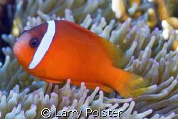 Fiji Anemomefish, Nikon D70s by Larry Polster