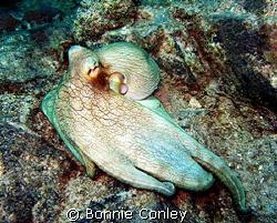 Octopus seen at Sint Maarten August 2007.  Photo taken wi... by Bonnie Conley