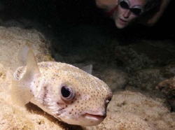 This is a photo of a porcupinefish and my daughter, while... by David Heidemann