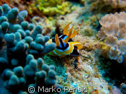A African Chromodorid (chromodoris africana) the first fo... by Marko Perisic