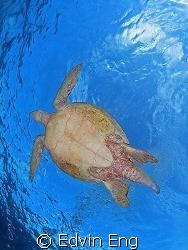 Flying Turtle! Taken in Sipadan with Canon S80, Inon Z240... by Edvin Eng