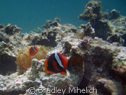 """""""hey you want a piece of me?""""  Clown fish protecting his ... by Bradley Mihelich"""