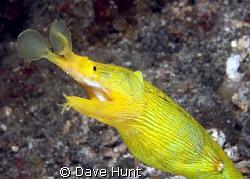 Female ribbon eel. According to Allen/Steene, et. al., th... by Dave Hunt