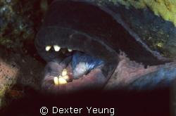 A over 1 meter long Titan Trigger sleeping inside a small... by Dexter Yeung