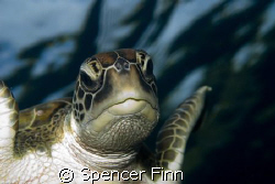 Grren Turtles like this one are common in the Similan isl... by Spencer Finn