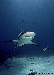 """Lowrider"" This Caribbean Reef Shark is flying low while ... by Steven Anderson"