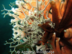 A basket star next to a feather star, both perched on som... by Anthony Wooldridge