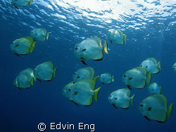 Batfish on the move! Taken in Sipadan with Canon S80, Ino... by Edvin Eng