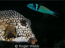 trunk fish by Roger Webb