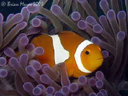 False Clown Anemonefish (Amphiprion ocellaris) from the P... by Brian Mayes