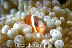 Shooting clown fish always takes some patience to get the... by Cindy Campbell