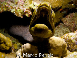 Lets see some teeth. A Giant Moray (gymnothorax javanicus... by Marko Perisic