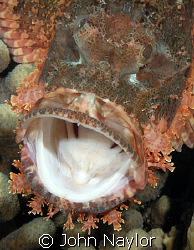 Tassled scorpion fish yawning by John Naylor
