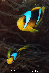 A couple of Clown Fish by Vittorio Durante