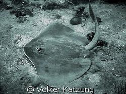 Stingray by Volker Katzung