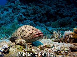 Reef seen with a Greasy Grouper(epinephelus tauvina) taki... by Marko Perisic