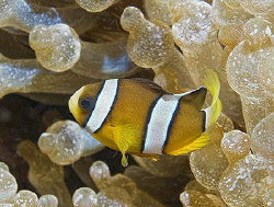 Juvenile or intermediate Clark's Anemonefish (Amphiprion ... by Jim Chambers