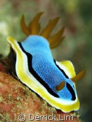 Chromodoris elizabethina, Seaventures House Reef, Canon G... by Derrick Lim