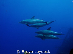 Po d of dolphins swimming past the Carnatic, taken with a... by Steve Laycock