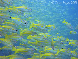 School of Bigeye Snapper (Lutjanus lutjanus) at Tokong La... by Brian Mayes