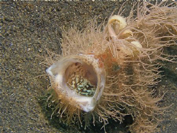 I was taking photos of this Hairy Frogfish, when it sudde... by Fatt Chuen Foo
