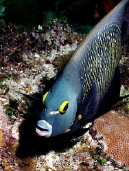This photo is of a French Angelfish which followed me aro... by Steven Anderson