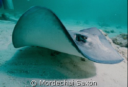 Stingray City. by Mordechai Saxon