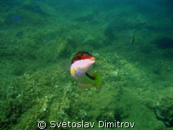 This fish posed to be shoted in Aegan Sea, Turkey by Svetoslav Dimitrov