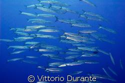 Barracudas by Vittorio Durante