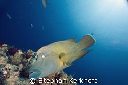 Napoleon wrasse (cheilinus undulatus) taken at yolanda reef. by Stephan Kerkhofs