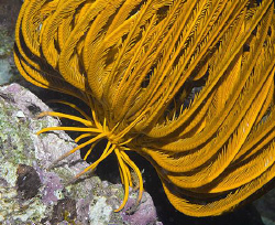 Crinoid about to make the big leap. by Jim Chambers