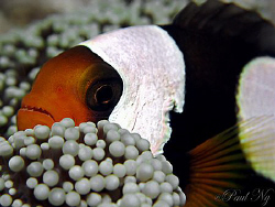 Panda Clown.Taken while he having a nap on my night dive ... by Paul Ng