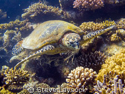 Hawksbill turtle, a real messy eater by Steve Laycock