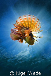 Dwarf Lionfish dancing in the sun inches from my 10.5mm f... by Nigel Wade