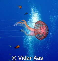 A jelly fish from Gozo by Vidar Aas