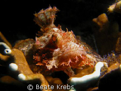 Scorpionfish with  sparkling eyes, taken with Canon S70 ,... by Beate Krebs